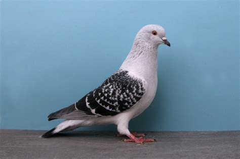pigeon or dove a bird of peace wild life