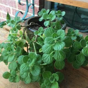 vicks plant plectranthus tomentosa gardenorg