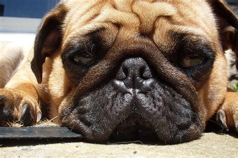 overweight pug diet weight in dogs and cats