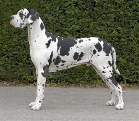 spotted great dane puppy saved by dogs great dane or deutsche dogge gentle giants