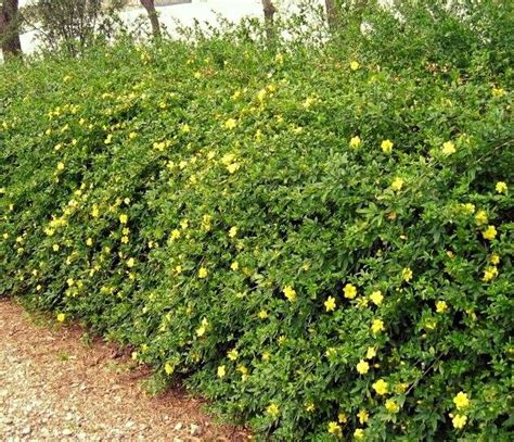 medium size shrubs for shade 54 best medium zone 7 shrubs images on plants shrubs and zone 7