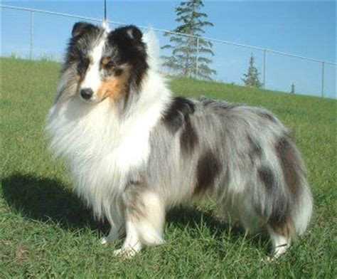 blue merle sheltie puppies blue merle sheltie looks just like our biscuit dumb as a box of rocks but the