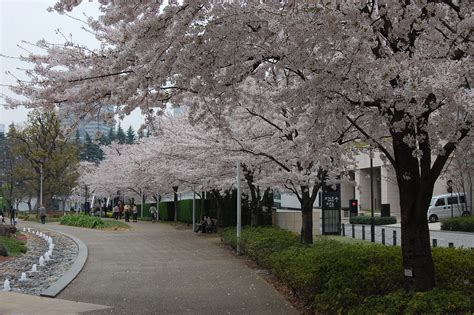 cherry tree 4th ave prunus x yedoensis landscape architect s pages