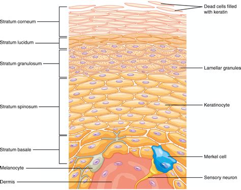 dermis diagram layers of the skin voer