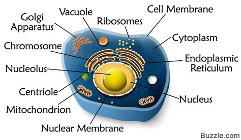 diagram of an animal cell a guide to the structure and functions of the animal