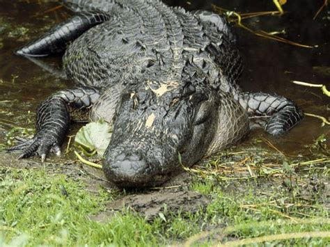 American Alligators, American Alligator Pictures, American ...