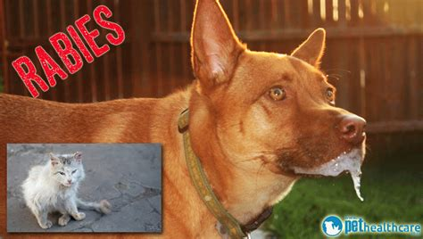 dogs with rabies top diseases to be aware of in south africa pethealthcare co zatop diseases