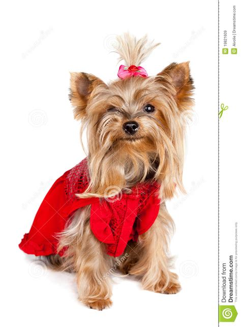 yorkie puppy clothes terrier in clothes royalty free stock images image 19821609
