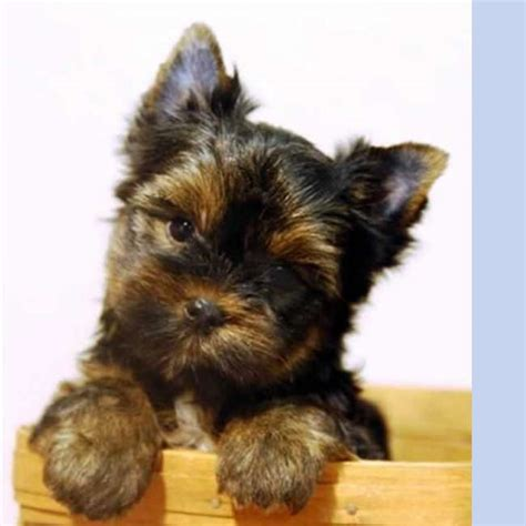 toys for yorkies yorkies for sale get terrier puppy