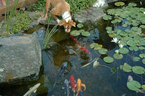 Aquascape Pool Design Koi Ponds