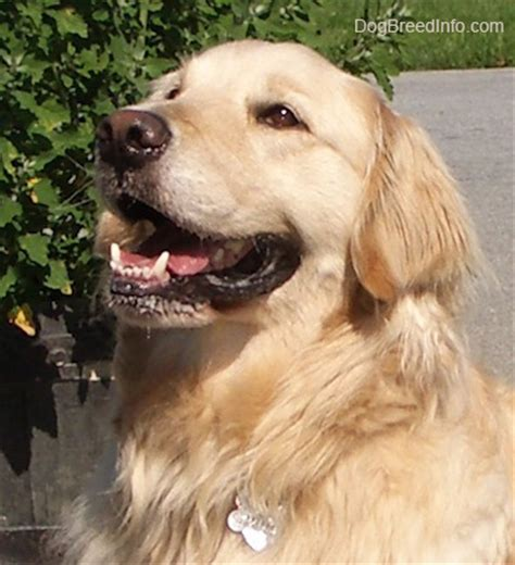 golden retriever wanted everything you wanted to about golden retrievers gracieland hound hotel