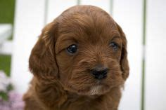 cavapoo puppies wi 1000 images about pets on piebald dachshund dachshund and cavalier king