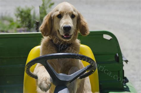 golden retriever driving puppy the wheel