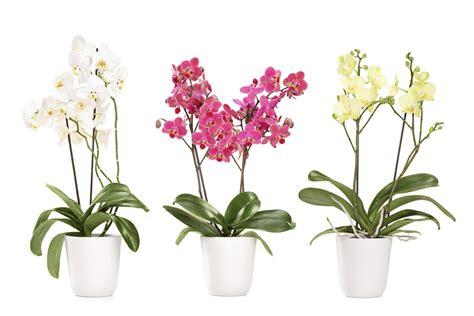 vaso orchidee come coltivare le orchidee non sprecare