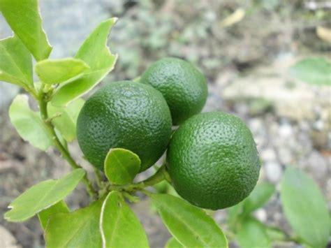 Minyak Atsiri Jeruk menanam dan budidaya jeruk nipis satu jam
