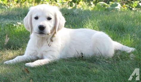 albuquerque golden retriever breeders akc white creme golden retriever puppies maret 2018 https nemu win