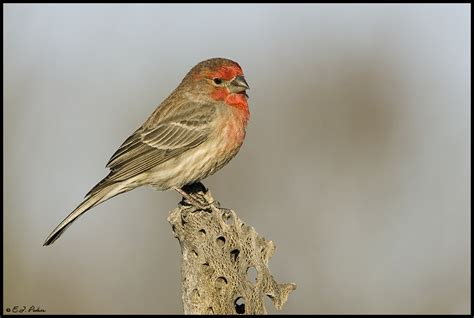 house finch arizona 28 images house finch photo stock
