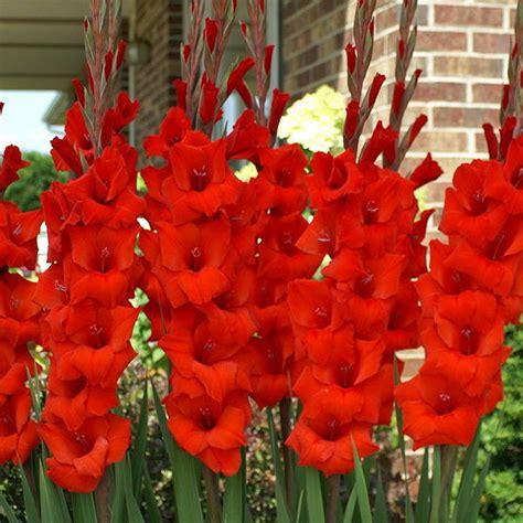 buy gladiolus red bulbs   nursery   flower bulbs  lowest price