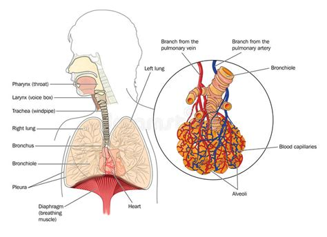 Beschriftung Lunge by Das Atmungssystem Vektor Abbildung Illustration