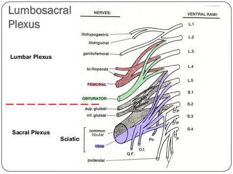 sciatic nerve location diagram sciatic nerve location diagram sciatic get free image