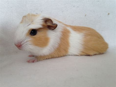 Baby boar smooth coat crest guinea pig   RESERVED
