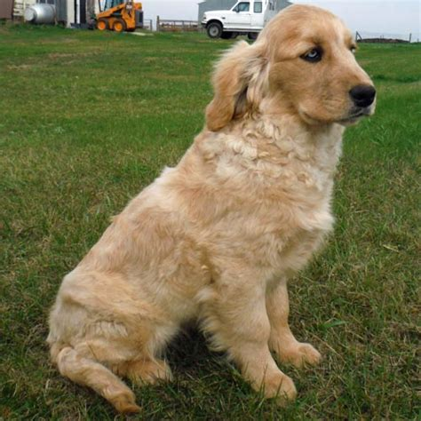 golden retriever south dakota mini golden retrievers