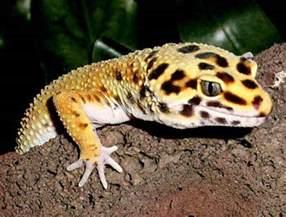geckos lizards virtual university of pakistan