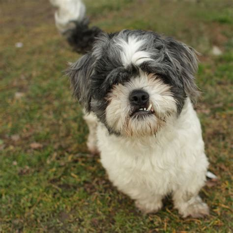 german shepherd shih tzu shih tzu german shepherd mix www imgkid the image kid has it