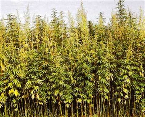 canapé haute qualité canapa fertilizzanti e concimi per coltivazioni industriali
