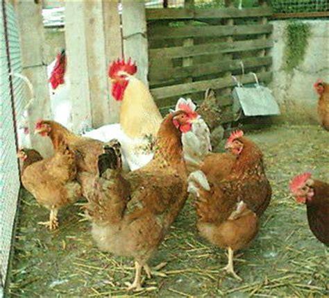animali da cortile definizione pollo domestico
