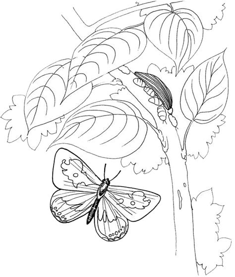 butterfly metamorphosis coloring pages free coloring pages of metamorphosis of a butterfly