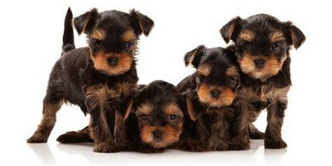 mira razas de perros peque 241 os de pelo corto 4 patas
