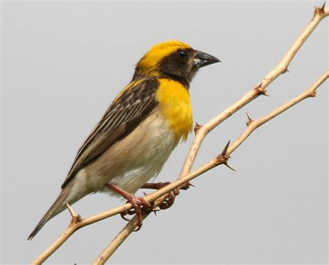 weaverbird definition what is
