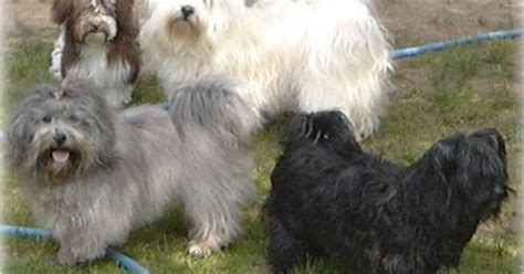 problems with havanese havanese this is a healthy lived breed however all lived breeds