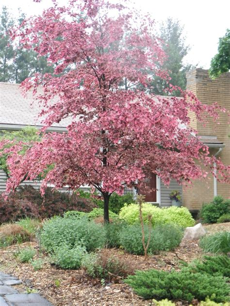 tri colored beech tricolor beech in the outdoor oasis