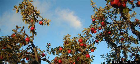 splicing fruit trees guerilla grafters secretly splicing san francisco trees