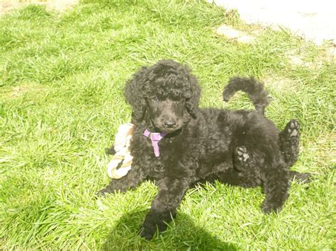 black poodle puppies black standard poodle puppies northton northtonshire pets4homes