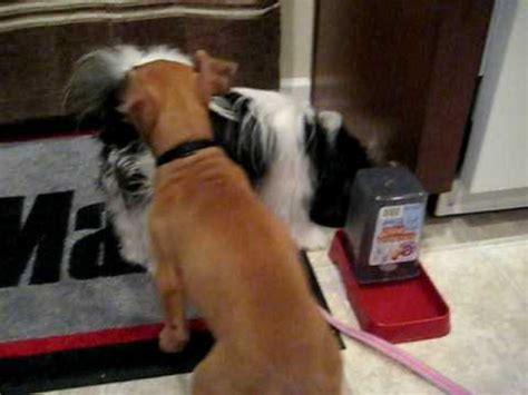 shih tzu and pitbull mix puppies puppy feeding time pitbull and shih tzu pomeranian mix