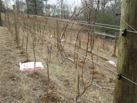if we re winter pruning then spring must be close project sunlight a winemaker s education