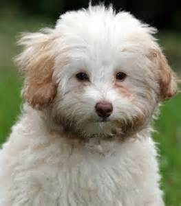 Bailey the toy labradoodle puppies daily puppy