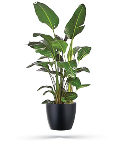 Indoor Modern Planters white bird of paradise event plants