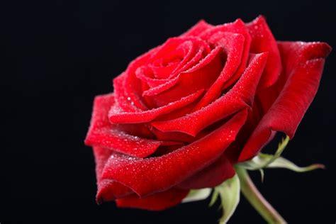 imagenes de rosas hermosas rojas fotos rosas rojas hermosas imagui