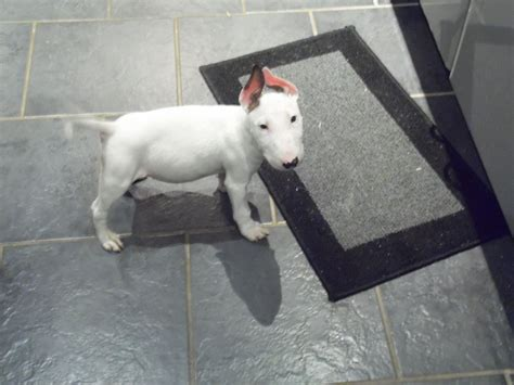 bull terrier puppy for sale miniature bull terrier for sale liverpool merseyside pets4homes