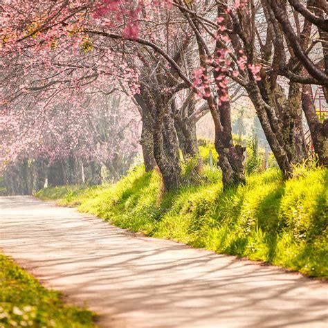 cherry blossom festival 28 the cherry blossom festival in cherry blossom