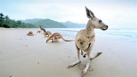 australias  beach  kangaroos  cape hillsborough
