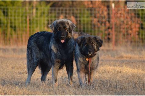 sarplaninac puppies for sale sarplaninac puppy for sale near oklahoma city oklahoma 52cd9929 1d91