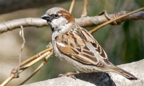 house sparrow passer domesticus facts feeding