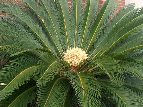 online plant guide cycas revoluta sago palm