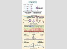 Menstrual cycle - Wikipedia Female Period Cycle