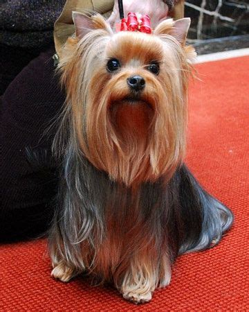 types of yorkie haircuts 100 ideas to try about yorkies yorkshire terrier dog